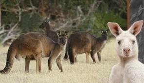 Zoo for Sale: Kangaroos at the Pardarna Wildlife Park on Kangaroo Island